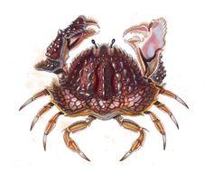 Image of smooth box crab