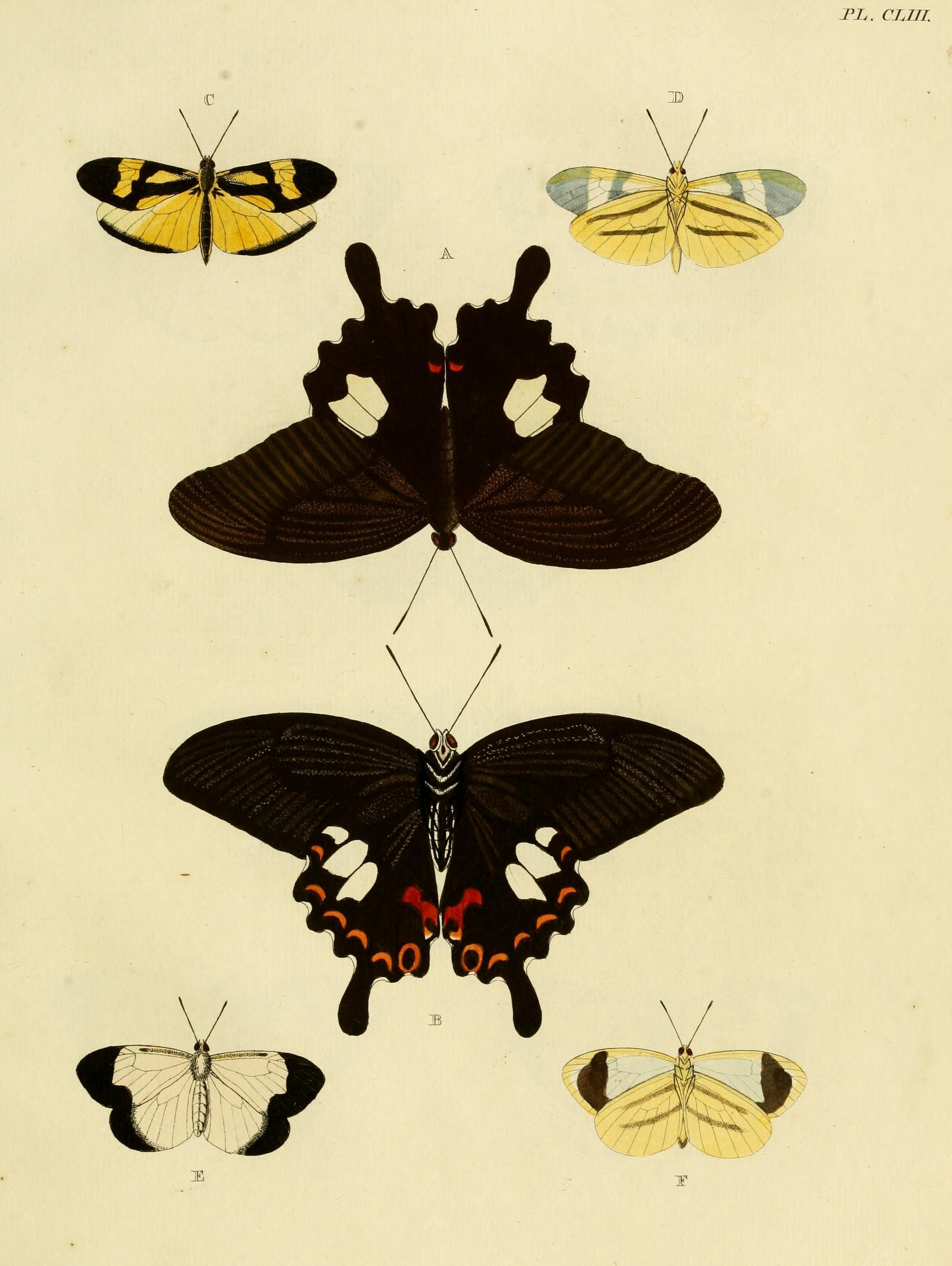 Image of <i>Enantia melite</i> (Linnaeus 1763)