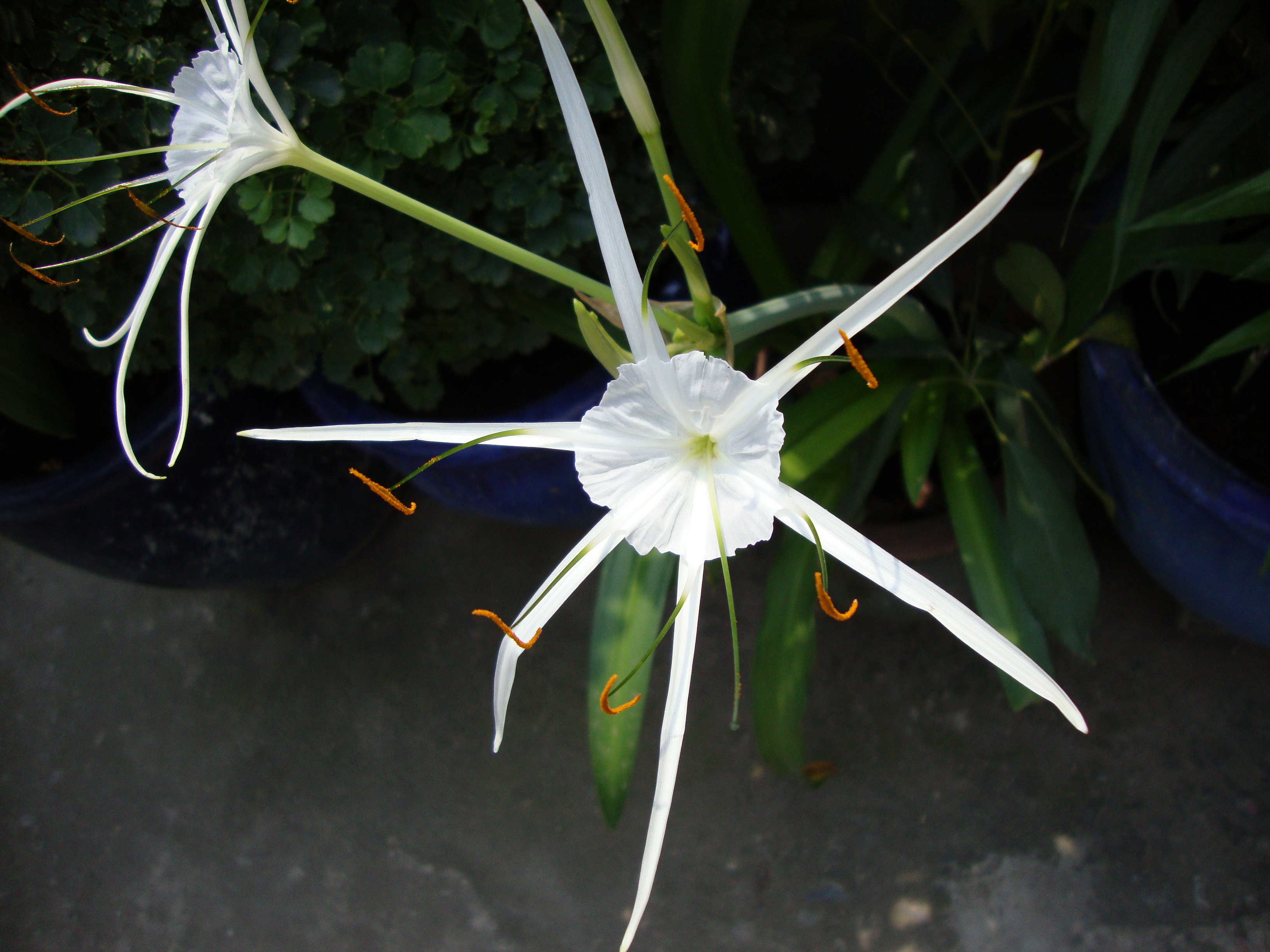 Image of beach spiderlily