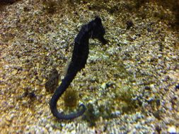 Image of Common seahorse