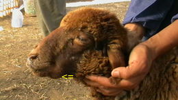 Image of Peste-des-petits-ruminants virus
