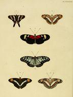 Image of <i>Ideopsis juventa</i> Cramer 1777