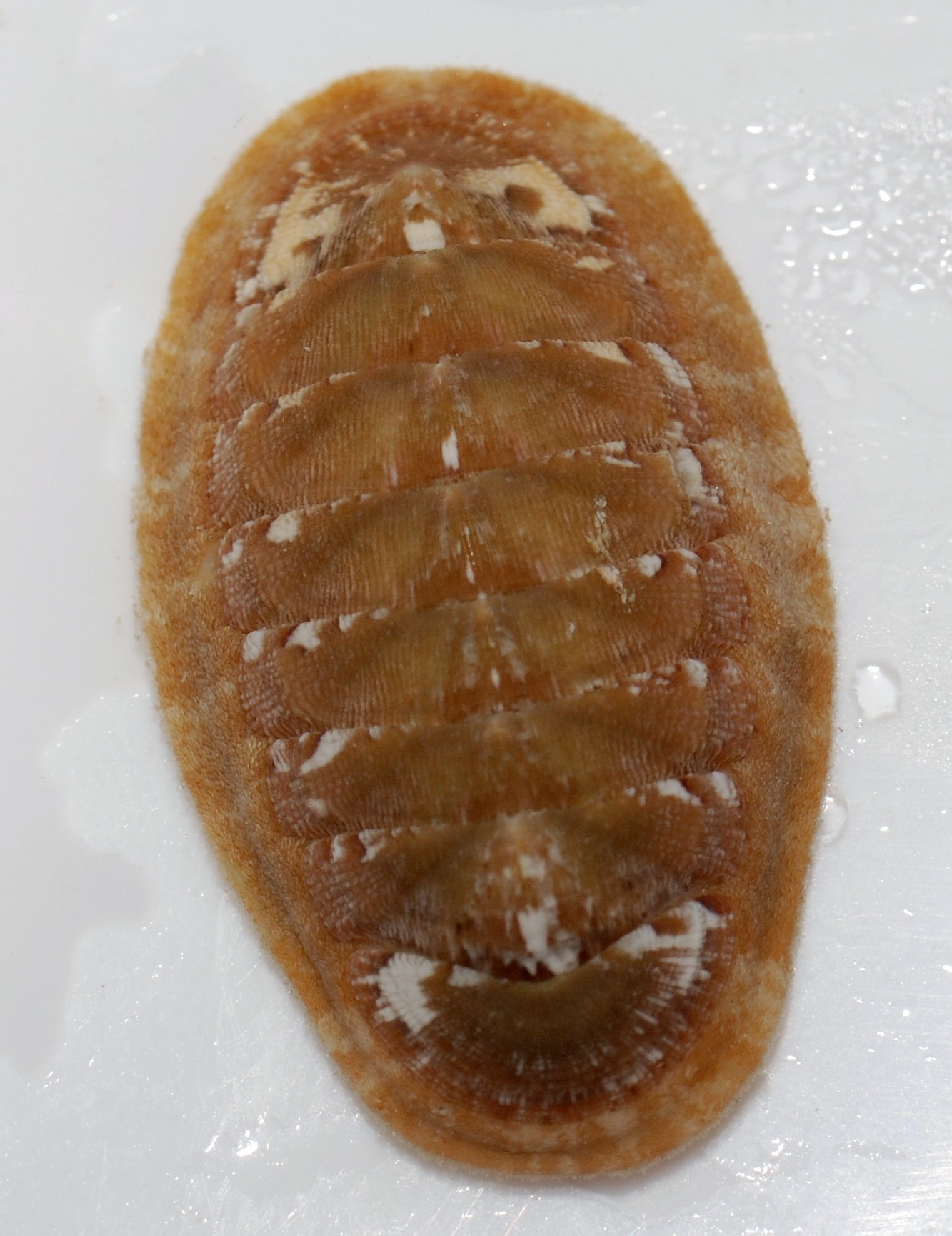 Image of Mediterranean chiton