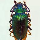 Image of <i>Pyrodes nitidus</i> (Fabricius 1787)
