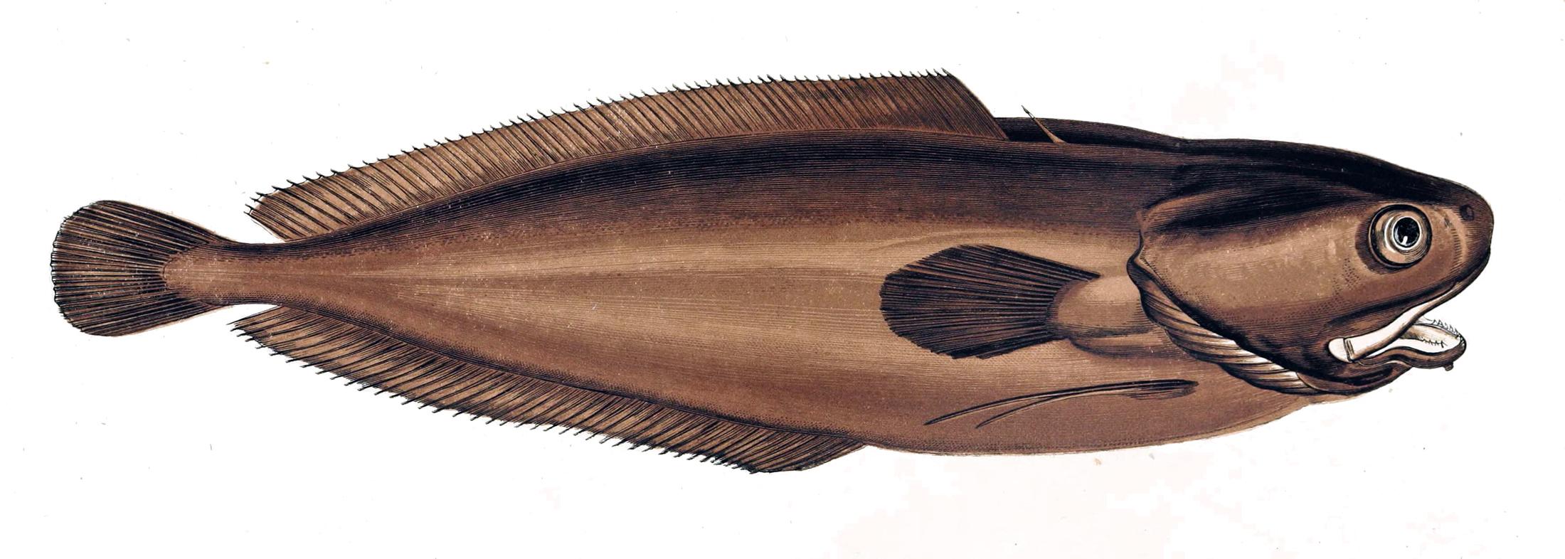 Image of Lesser Fork-beard