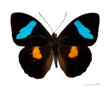 Image of <i>Nessaea batesii</i> Felder 1860