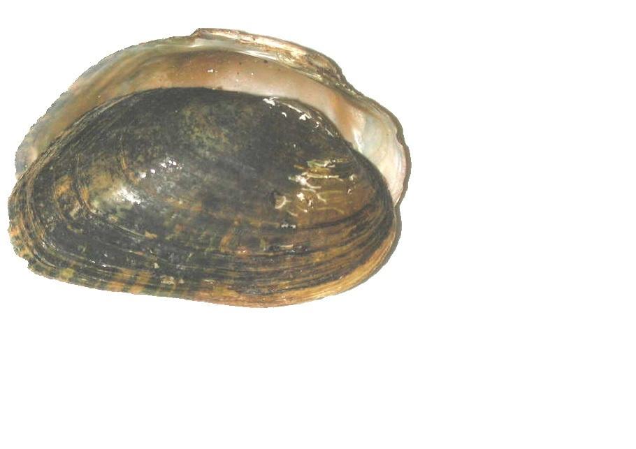 Image of Brook Floater