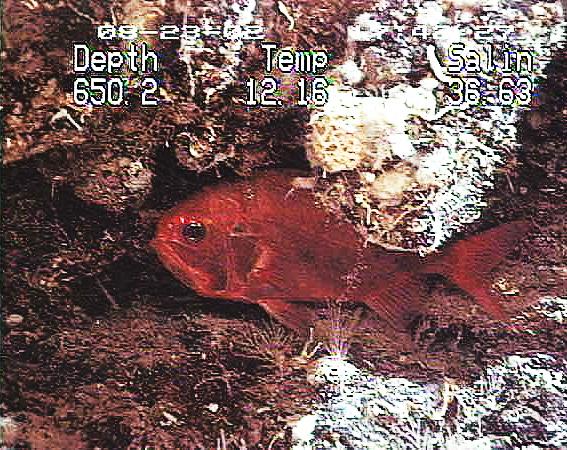 Image of Deep sea perch