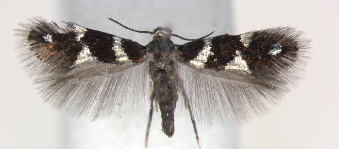 Image of <i>Antispila oinophylla</i> Van Nieukerken & Wagner ex van Nieukerken, Wagner, Baldessari, Mazzon, Angeli, Girolami, Duso & Doorenweerd 2012