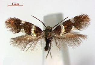 Image of <i>Antispila isabella</i> Clemens 1860