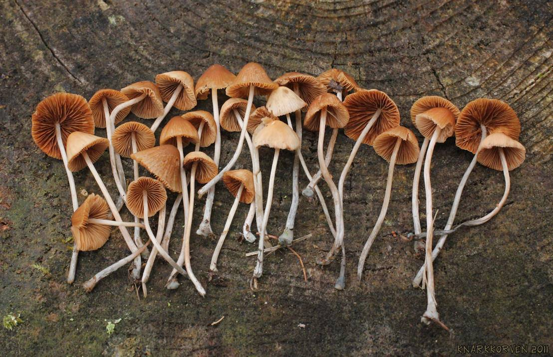 Image of <i>Pholiotina smithii</i> (Watling) Enderle 1999
