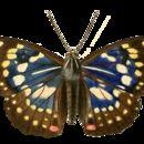 Image of <i>Sasakia charonda</i> Hewitson 1862
