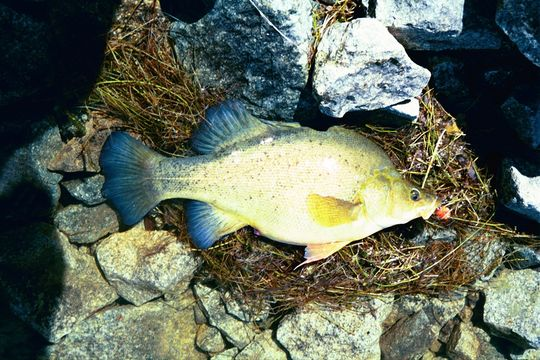 Image of Golden perch