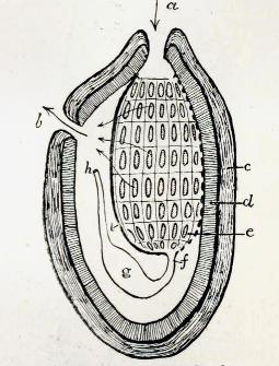 Image of Ascidia