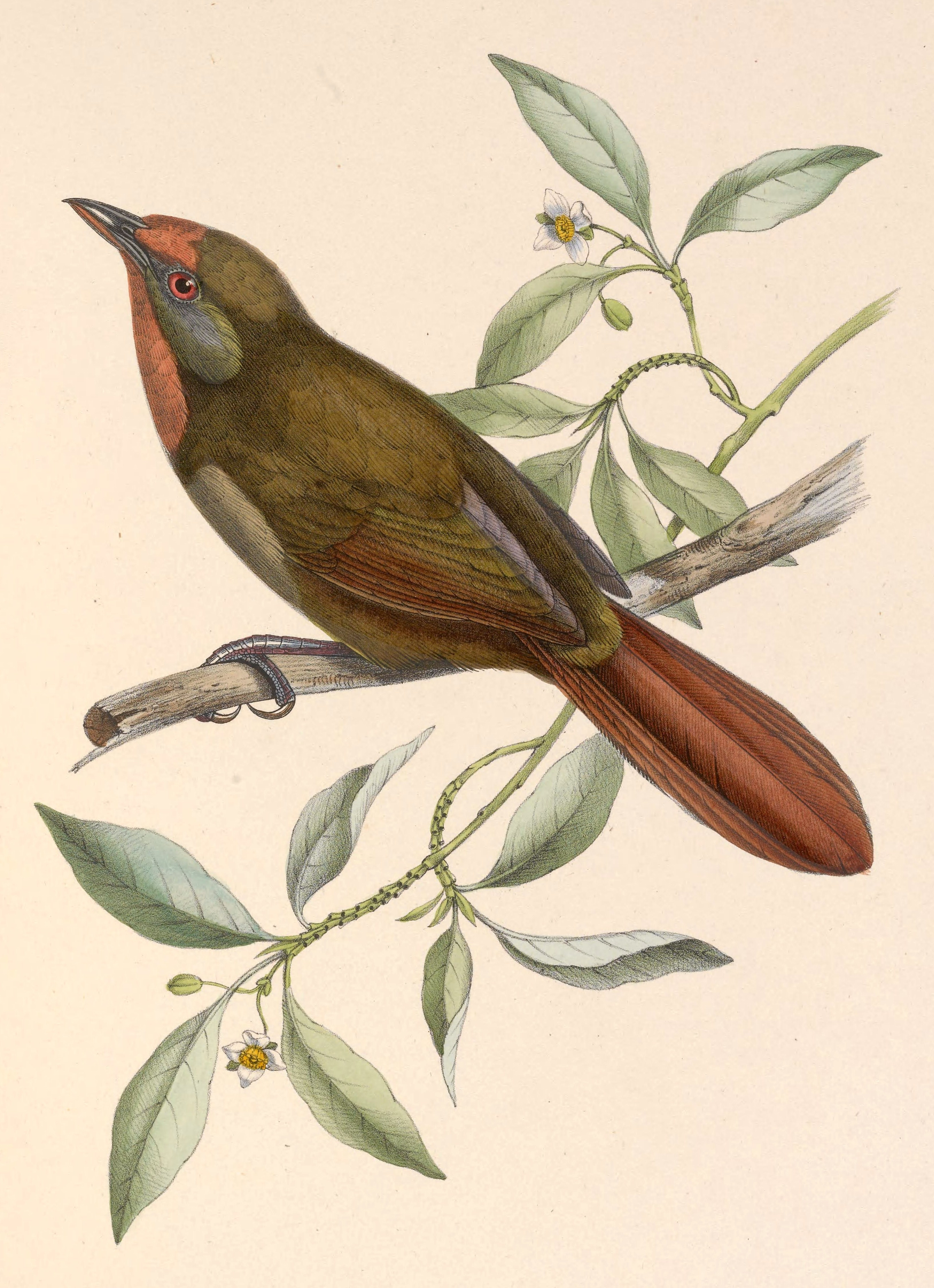 Image of Orange-eyed Thornbird