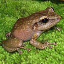Image of Common Coqui