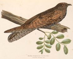 Image of Nyctibius Vieillot 1816