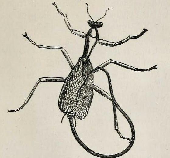 Image of Gordius
