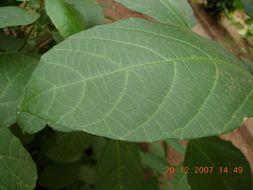 Sivun Baliospermum kuva