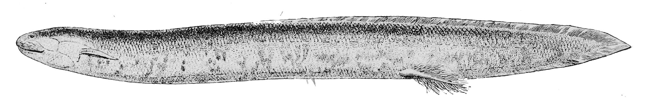 Image of <i>Lepidosiren paradoxa</i> Fitzinger 1837
