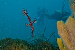Image of Ornate ghost pipefish