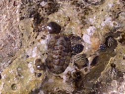 Image of West Indian fuzzy chiton