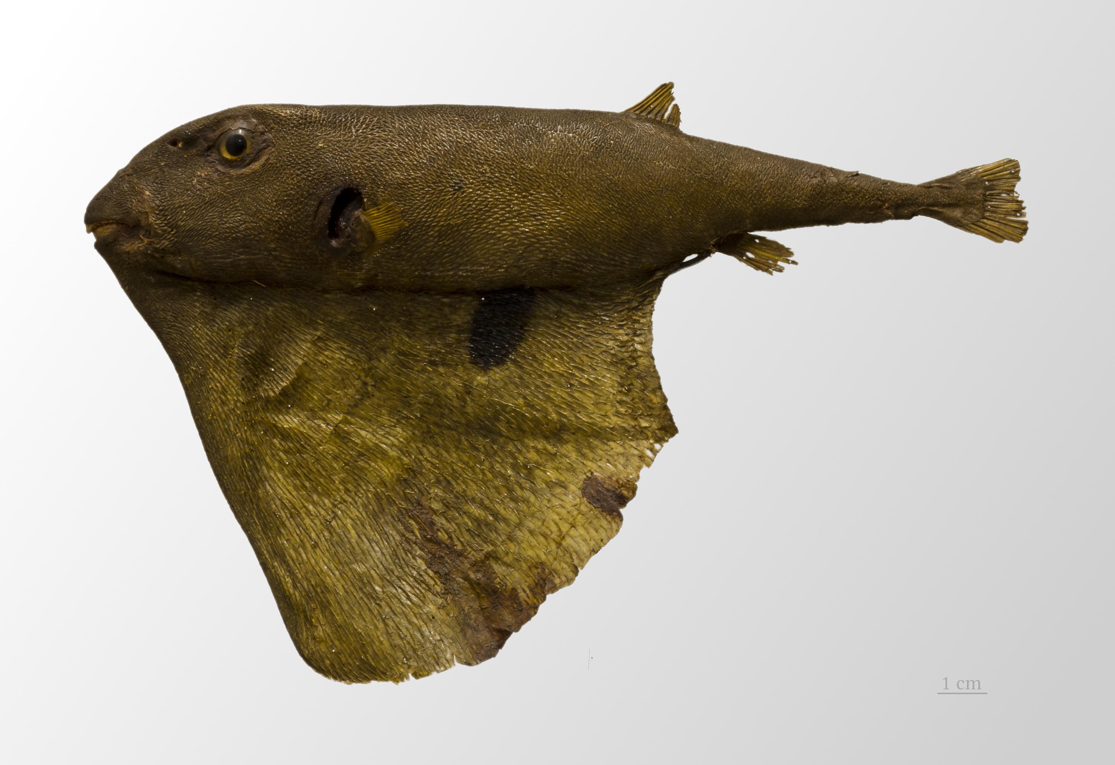 Image of threetooth puffer