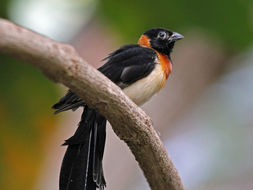 Image of Eastern Paradise-whydah