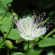 Image of caper bush