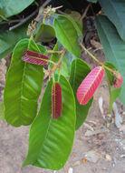 Image of Vateria indica