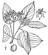 Image of <i>Cornus amomum</i> Mill.