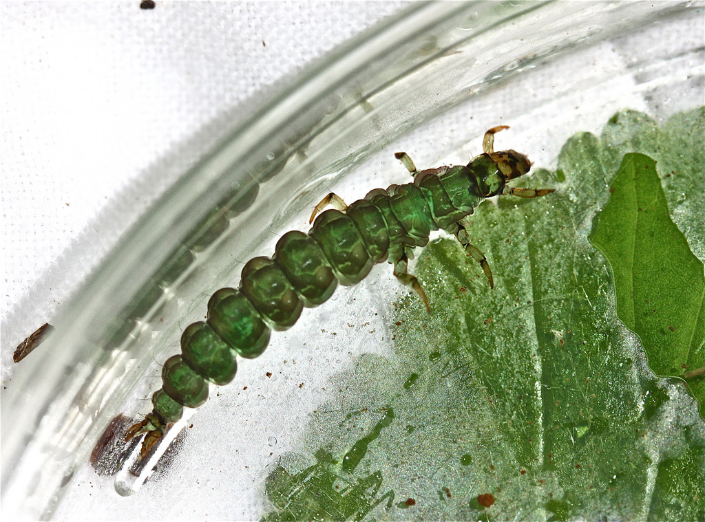 Image of free-living caddisflies