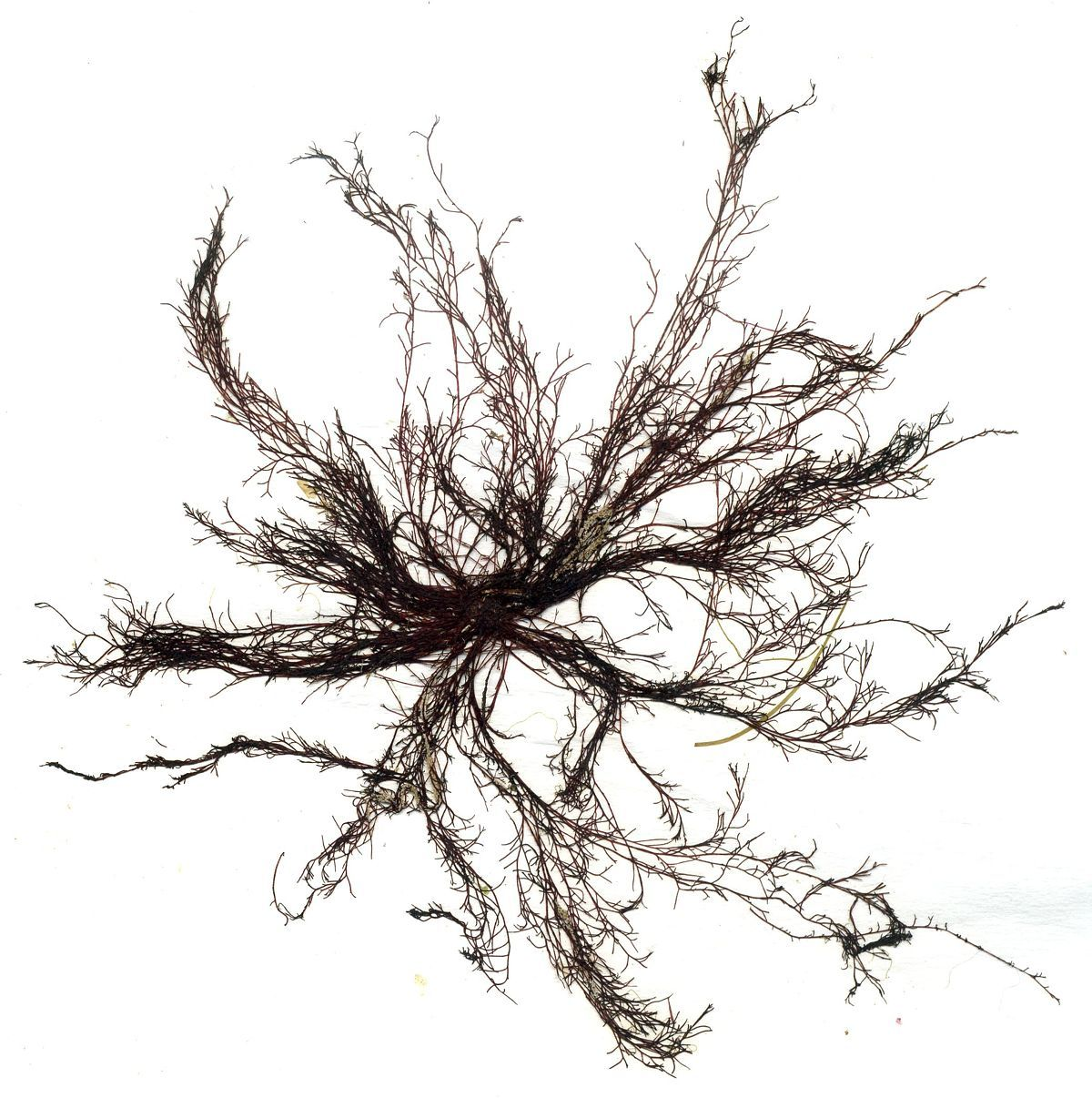 Image of <i>Polysiphonia stricta</i>