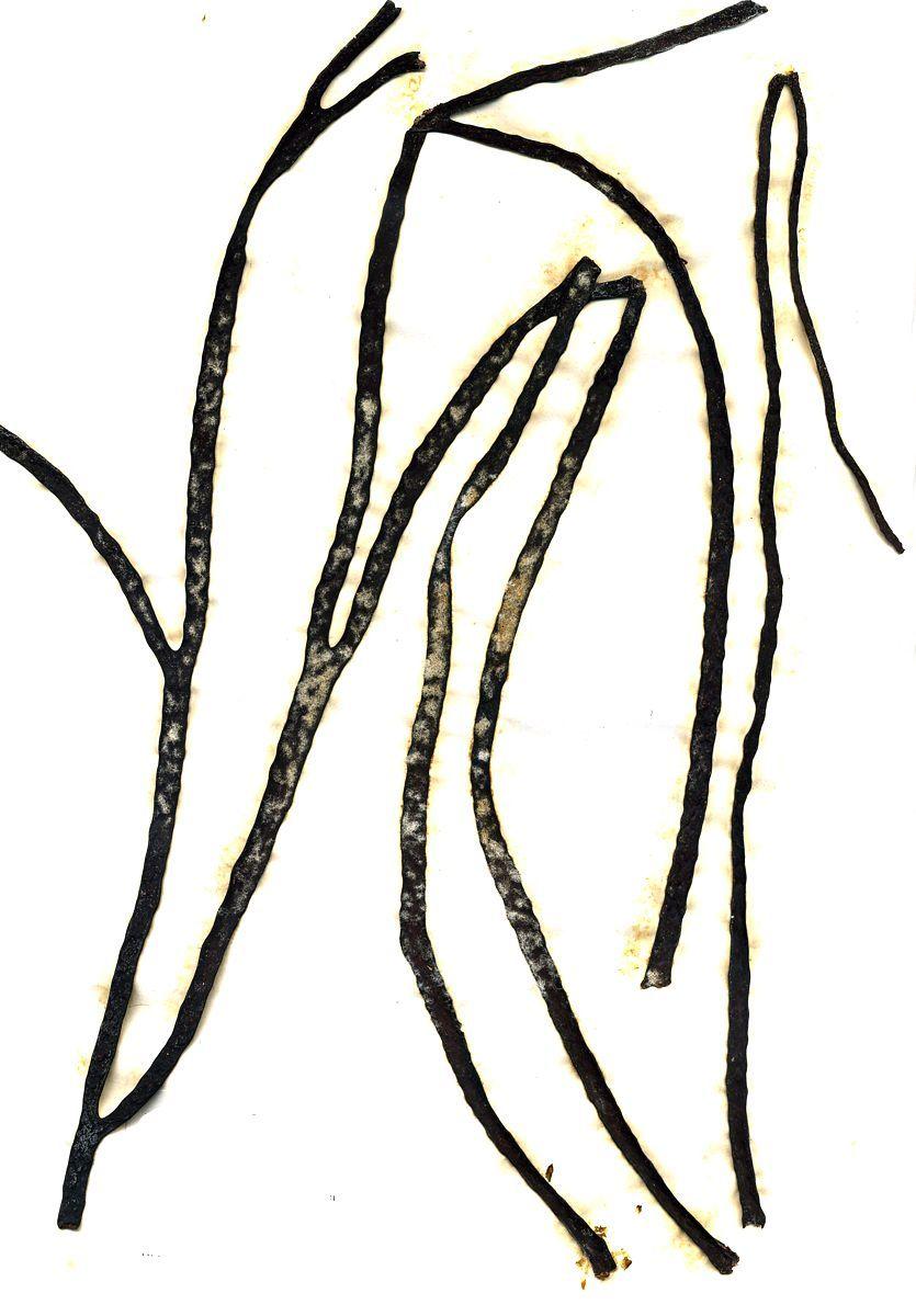 Image of sea-thong