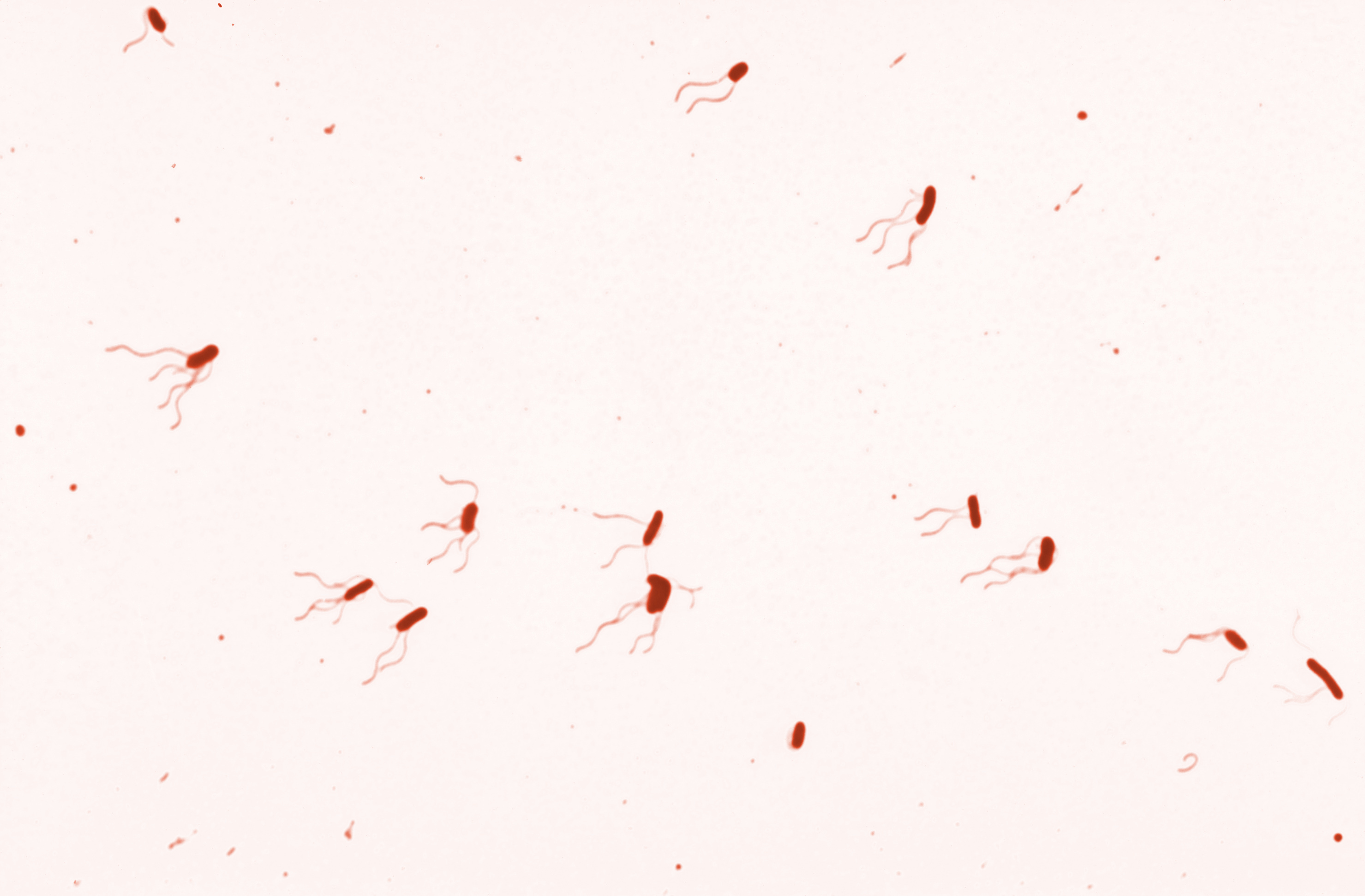 Image of <i>Bordetella bronchiseptica</i>