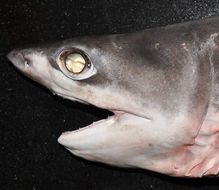Image of One-finned Shark