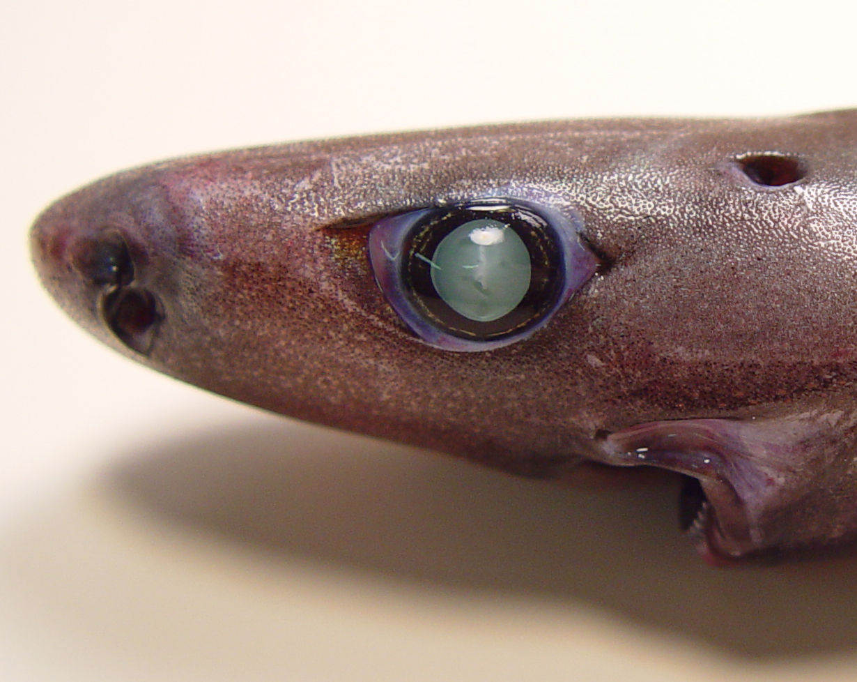 Image of <i>Etmopterus pusillus</i> (Lowe 1839)