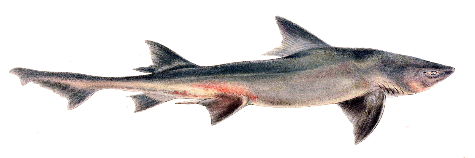 Image of Spotted Gully Shark