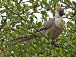Image of Bare-faced Go-away Bird