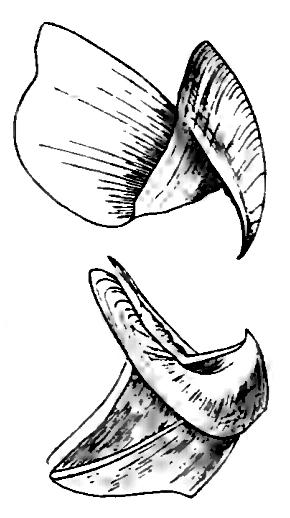 Image of <i>Taonius pavo</i> (Lesueur 1821)