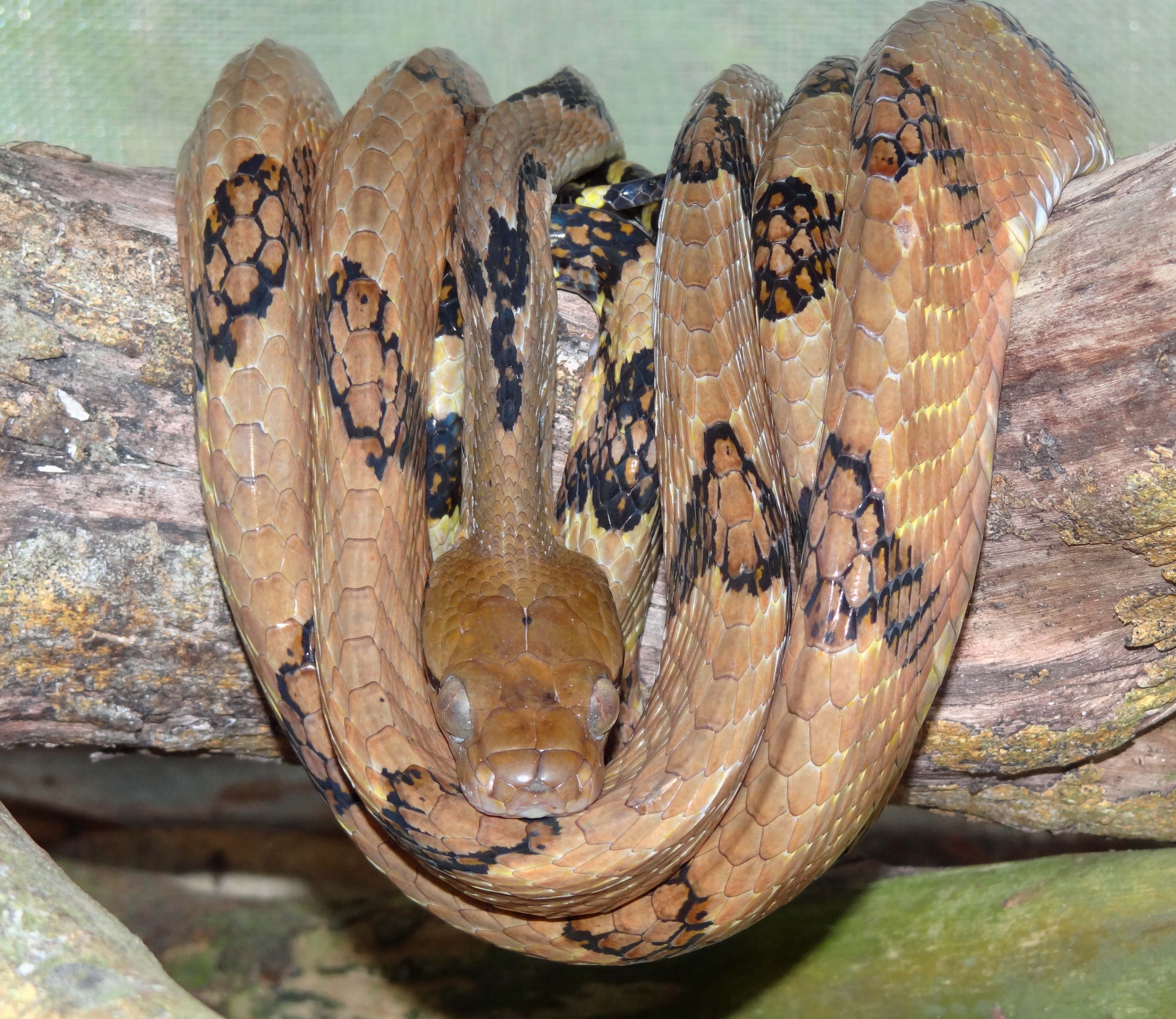 Image of Dog-tooth cat snake