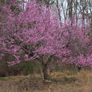 Image of eastern redbud