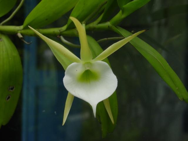 Image of <i>Angraecum infundibulare</i> Lindl.