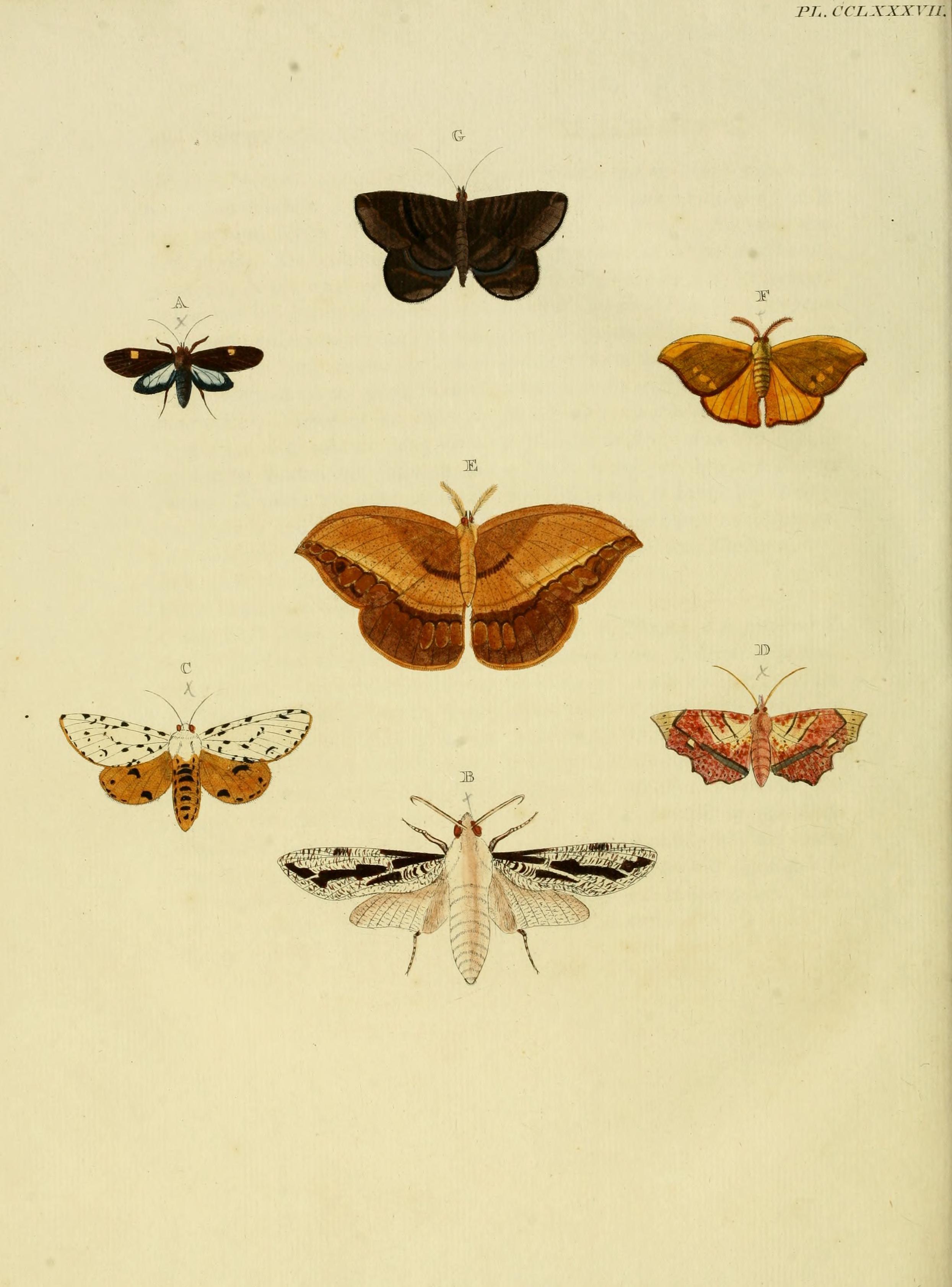 Image of <i>Anticla flavaria</i> (Cramer 1780)