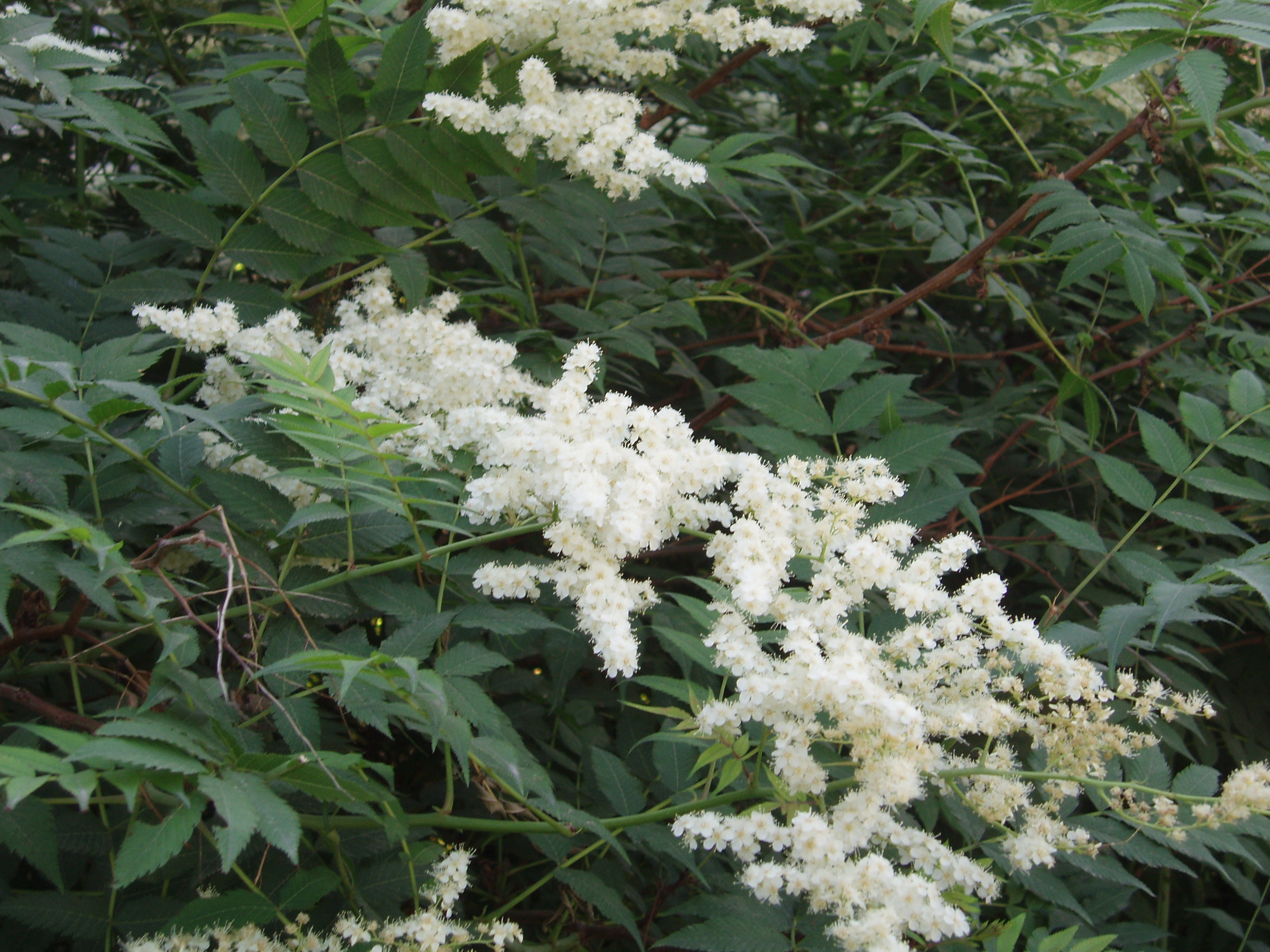 Image of false spiraea