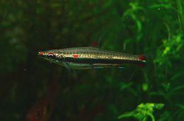 Image of Three-lined pencilfish