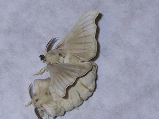 Image of Domesticated Silkmoth