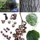 Image of Japanese raisin tree
