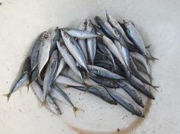 Image of Blue Mackerel