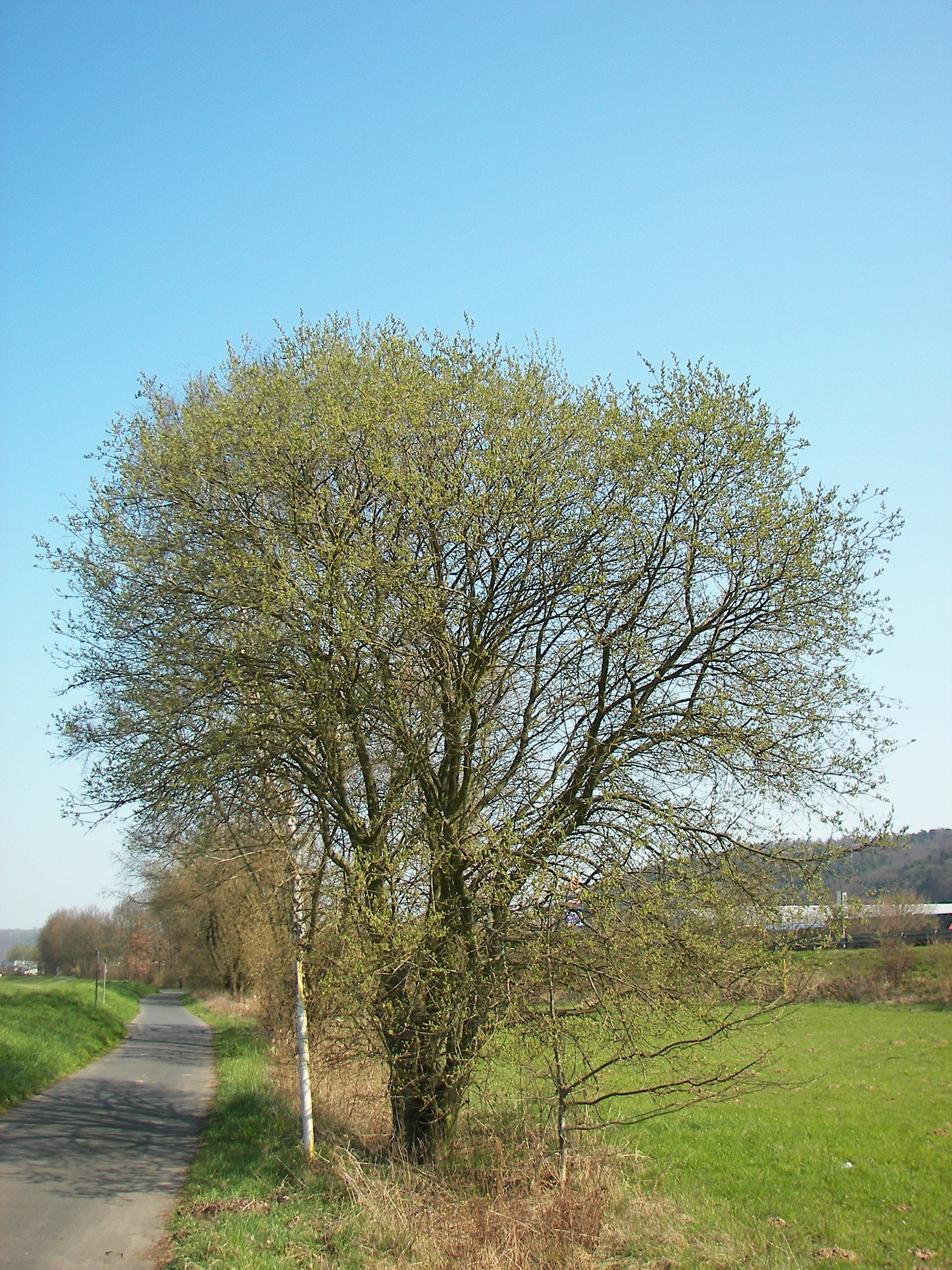Image of goat willow